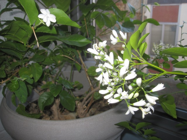 The Arabian Jasmine is blooming too.  If I lived in a tropical climate, my yard would be filled with these plants.