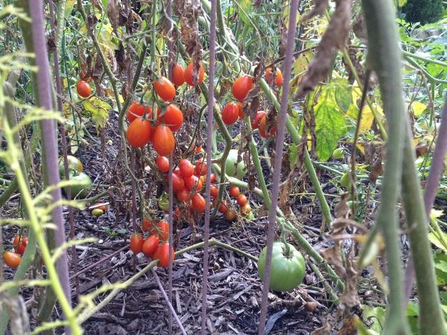 So many tomatoes...