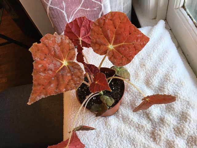 They're water stained right now.  I will not spray water on the leaves.