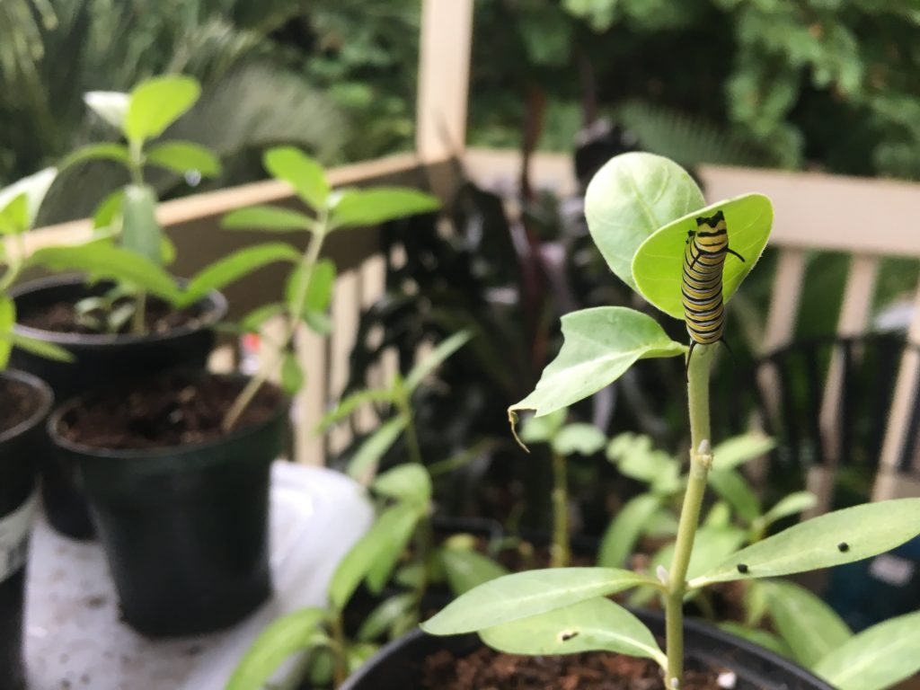 Monarch caterpillars!