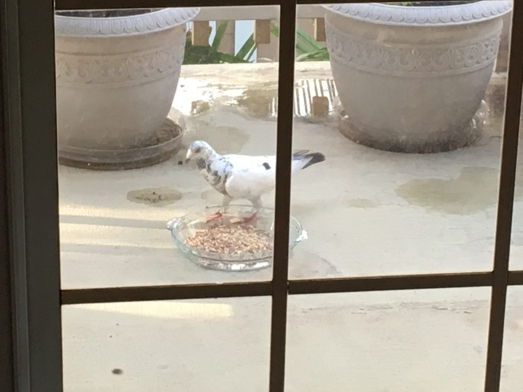 This pigeon immediately ate all the sunflower seeds - whole, without breaking the shells open!